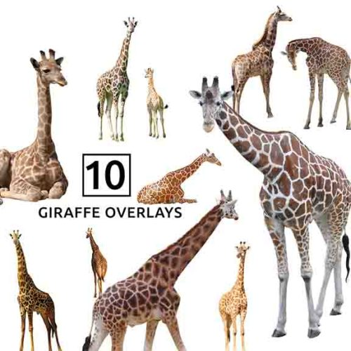 Giraffe PNG Overlays for Photoshop
