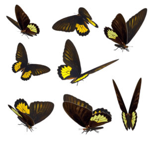 Butterfly Overlays for Photographers