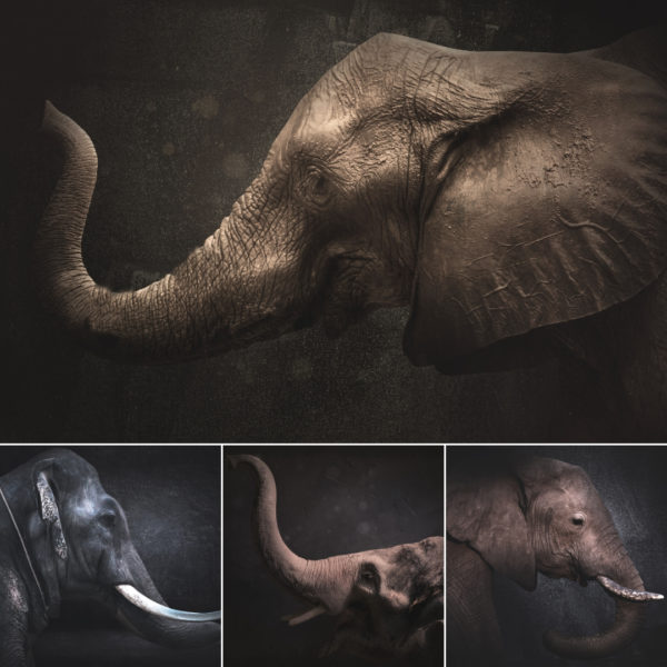 Elephant Trunk Digital Backgrounds