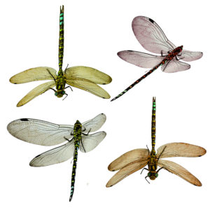 Dragon Fly Overlays