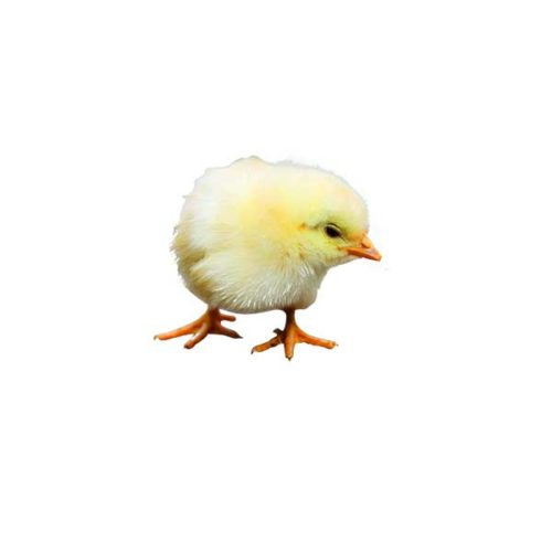 png baby chick